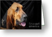 Portraits Photo Greeting Cards - Bloodhound - Governed by a world of scents Greeting Card by Christine Till