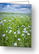 Growing Greeting Cards - Blooming flax field Greeting Card by Elena Elisseeva