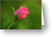 Roses Petals Greeting Cards - Blooming Pink Rose Greeting Card by Michael Greenaway