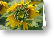 Summertime Greeting Cards - Blooming Sunflower Greeting Card by Aimee L Maher