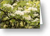 Thorn Apple Greeting Cards - Blossoming Hawthorn Tree Greeting Card by Angie Rea