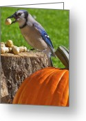 Bluejay Birds Greeting Cards - Blu Goes Nuts Greeting Card by Shelley Neff