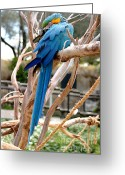 Ara Ararauna Greeting Cards - Blue And Gold Macaw Greeting Card by Henrik Lehnerer