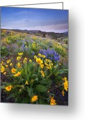 Balsamroot Greeting Cards - Blue and Gold Greeting Card by Mike  Dawson