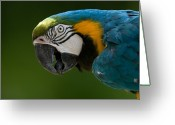 Henry Doorly Zoo Greeting Cards - Blue And Yellow Macaw At The Omaha Zoo Greeting Card by Joel Sartore