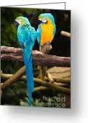 Ara Ararauna Greeting Cards - Blue-and-Yellow Macaw  Greeting Card by Johan Larson