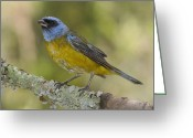 Lichen Image Greeting Cards - Blue And Yellow Tanager Thraupis Greeting Card by Pete Oxford