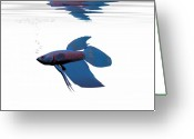 Pet Picture Greeting Cards - Blue Betta Greeting Card by Corey Ford
