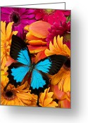 Orange Flower Photo Greeting Cards - Blue butterfly on brightly colored flowers Greeting Card by Garry Gay