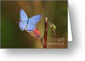 Gossamer Greeting Cards - Blue Butterfly on Leaf Greeting Card by Carol Groenen