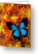 Metamorphosis Greeting Cards - Blue butterfly on mums Greeting Card by Garry Gay