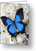 Seasonal Greeting Cards - Blue butterfly on white roses Greeting Card by Garry Gay