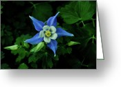 Homesickness Greeting Cards - Blue Columbine in Shadow Greeting Card by Douglas Barnett