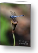 Lotus Seed Pod Greeting Cards - Blue Dragonfly Dancer Greeting Card by Sabrina L Ryan