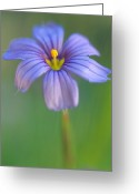 Flowers Greeting Cards Greeting Cards - Blue Eyed Grass 2 Greeting Card by Kathy Yates