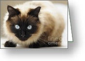 Siamese Photo Greeting Cards - Blue eyes Greeting Card by Andrew  Michael