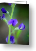 Woodland Plant Greeting Cards - Blue False Indigo Greeting Card by Teresa Mucha
