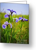 Flora Greeting Cards - Blue flag iris flowers Greeting Card by Elena Elisseeva