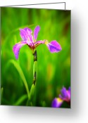 Birthday Cards  Greeting Cards - Blue Flag Iris Greeting Card by Thomas Schoeller