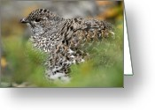 Telephoto Greeting Cards - Blue Grouse Hen 1 Greeting Card by Larry Ricker