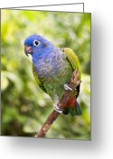 Amazon Greeting Cards - Blue-headed Parrot Greeting Card by Tony Camacho