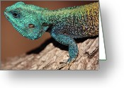 Wild Lizard Greeting Cards - Blue-headed Tree Agama Greeting Card by Rich Lewis