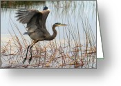 Herons Greeting Cards - Blue Heron 1 Greeting Card by Peter Gray