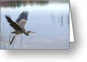 Heron Greeting Cards - Blue Heron 3 Greeting Card by Peter Gray