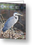Collage On Wood Greeting Cards - Blue Heron Greeting Card by Don  Wright
