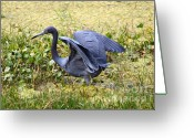 The Swamp Greeting Cards - Blue Heron in the Marsh Greeting Card by Carol Groenen