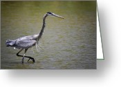 Heron.birds Greeting Cards - Blue Heron on the Hunt  Greeting Card by Saija  Lehtonen