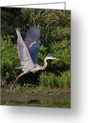 Bird Of Prey Mixed Media Greeting Cards - Blue Heron Greeting Card by Robert Pearson