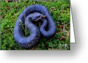 Oldgrowth Greeting Cards - Blue Hognose Greeting Card by Joshua Bales