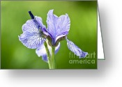 Flower Art Greeting Cards - Blue Iris Germanica Greeting Card by Frank Tschakert
