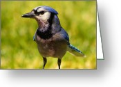 Blue Blood Greeting Cards - Blue Jay after a Fight Greeting Card by Bill Tiepelman