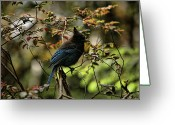 Bluejay Birds Greeting Cards - Blue Jay Greeting Card by Bonnie Bruno