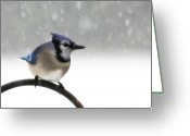 Blue Jay Greeting Cards - Blue Jay in a Blizzard Greeting Card by Lori Deiter