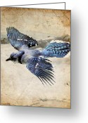 Blue Jay Greeting Cards - Blue Jay in Flight Greeting Card by Ray Downing