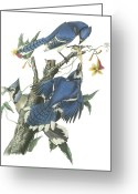Blue Jay Greeting Cards - Blue Jay Greeting Card by John James Audubon