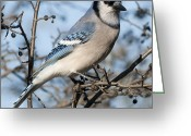 Nature And Wildlife Greeting Cards - Blue Jay.. Greeting Card by Nina Stavlund