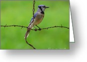 Blue Jay Greeting Cards - Blue Jay On Crossed Wire Greeting Card by Robert Frederick