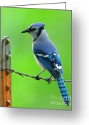 Blue Jay Greeting Cards - Blue Jay On The Fence Greeting Card by Robert Frederick