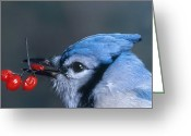 Bittersweet Photo Greeting Cards - Blue Jay Greeting Card by Photo Researchers, Inc.