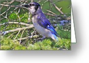 Tree Artwork Mixed Media Greeting Cards - Blue Jay Greeting Card by Robert Pearson