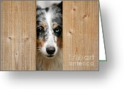 Sheltie Greeting Cards - Blue merle sheltie Greeting Card by Kati Molin