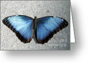 Gossamer Greeting Cards - Blue Morpho Butterfly Greeting Card by Sabrina L Ryan