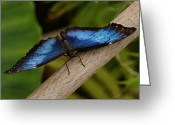 Indiana Photography Photo Greeting Cards - Blue Morpho Butterfly Greeting Card by Sandy Keeton