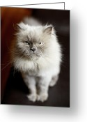 Staring Greeting Cards - Blue Point Himalayan Cat Looking Irritated Greeting Card by Matt Carr