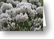 Mountain Laurel Greeting Cards - Blue Ridge Mountain Laurel Greeting Card by Teresa Mucha