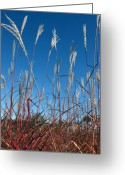 Feathery Greeting Cards - Blue Skies and Grasses Greeting Card by Barbara  White